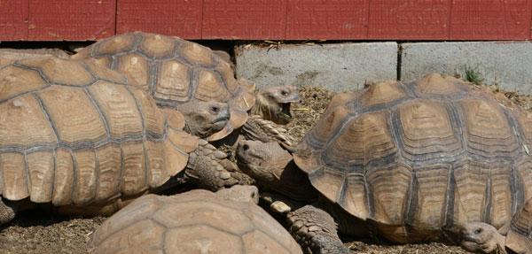 Sulcata tortoises communicating
