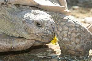 Sulcata tortoise eating a dandelion flower