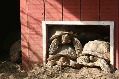 Sulcata tortoise trio in doorway