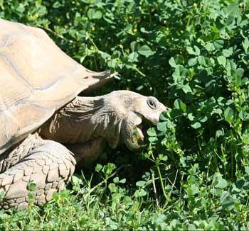 Sulcata tortoise eating bur clover