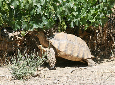 Sulcata tortoise eating grape leaves