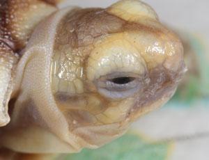 Sulcata hatchling profile