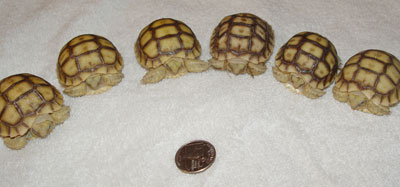 Sulcata hatchlings with a U.S. 25-cent piece for scale
