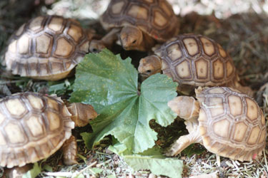 Sulcata hatchlings eating mallow