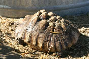 Pyramided carapace of a sulcata tortoise