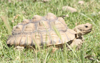 Sulcata tortoise with pyramided carapace
