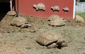 Tortoises outside red barn
