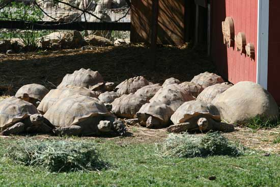 Group of sulcata tortoises basking