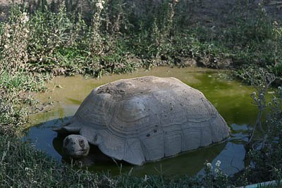 Sulcata tortoise soaking in the mudhole