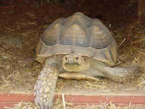 Sulcata tortoise in barn doorway