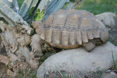 Sulcata tortoise eating cereus cactus