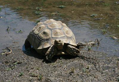 Sulcata tortoise enjoying a puddle